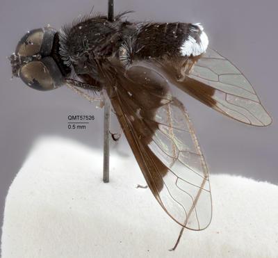 Anthrax asciculus; T57526