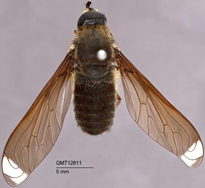 Comptosia heliophila; T12611