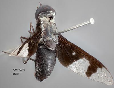 Palirika cyaneus; T99036