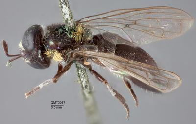 Microdon amabilis