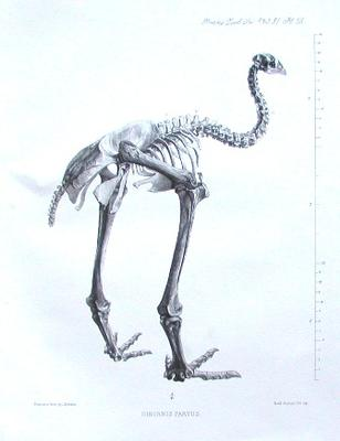 Skeleton of a little bush moa