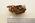 Dobsonia Panniet Naked-backed Fruit Bat
