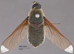 Bee Flies: The Impersonators